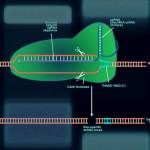 CRISPR-Cas9-fb